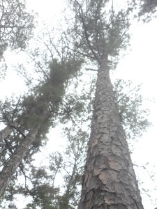 The pines that give the trail its name stand tall.  Their bark reminded me of old shingles.